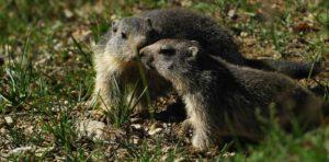 marmotte bardonecchia
