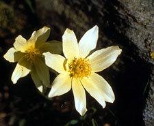 anemone delle alpi