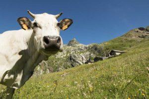 Alpeggio allo Scarfiotti-Bardonecchia