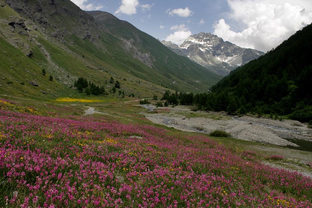 fioritura di lupinella