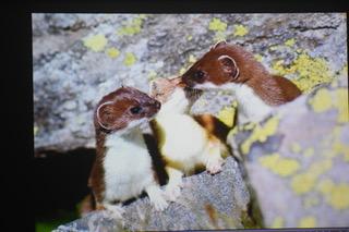 ACCORDI DELLA MONTAGNA : UN ESPERIMENTO RIUSCITO COMMENTI POETICI DURANTE LA PROIEZIONE DI FOTOGRAFIE DI ANIMALI SELVATICI